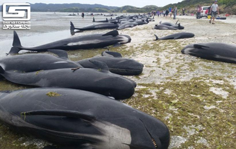 بیش از 600 نهنگها در نیوزیلند خودکشی کردند main stranding 1