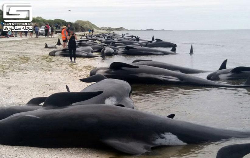 بیش از 600 نهنگها در نیوزیلند خودکشی کردند stranding 2