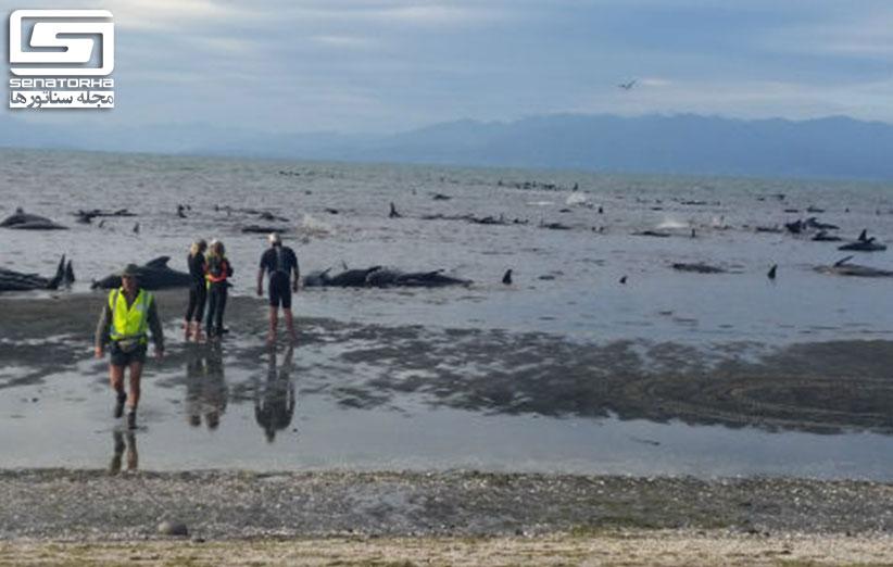 بیش از 600 نهنگها در نیوزیلند خودکشی کردند stranding 3
