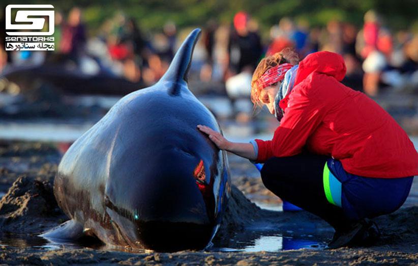 بیش از 600 نهنگها در نیوزیلند خودکشی کردند stranding 4