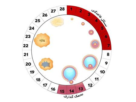 آنچه باید در مورد تخمک گذاری بدانید ovulation4 secretions1